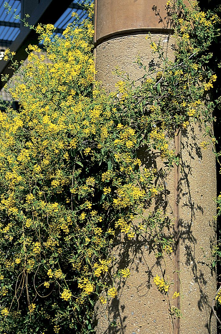 Yellow Orchid Vine Patio Pros